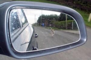 dog-chasing-car-300x200
